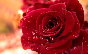 beautiful_red_rose_with_water_drops-wide