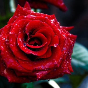 Red-Rose-Valentines-Day-Flowers-Photography-Picture-